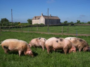 The GOS is a grazing pig ideally suited to outdoor husbandry