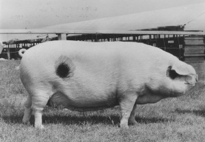 Bixbury Muriel 3 bred & exhib by Miss Joy Withers, Chipping Sodbury Br Ch RASE 1965 Stoneleigh.jpg © Copyright, please contact us if you wish to use this photo.