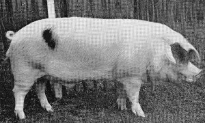 Chedworth Paul 23rd (682) bred & exhib by JDF Green, Chedworth Br Ch RASE Cambridge 1960.jpg © Copyright, please contact us if you wish to use this photo.