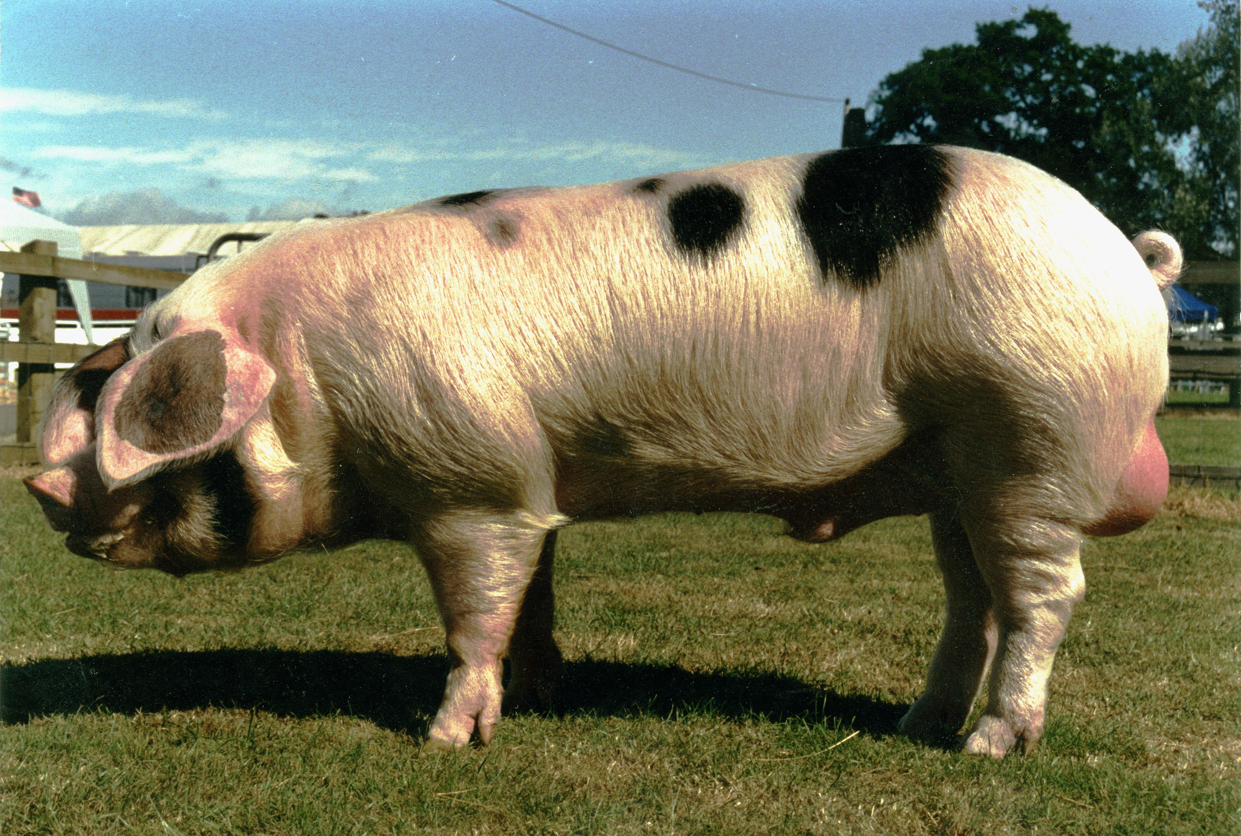 Gloucestershire Old Spot Piglets For Sale