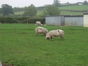 To achieve TSG Approved status, all the GOS pigs must be pedigree and kep in high-welfare, non-intensive conditions such as these at John & Helen Lightfoot's farm in Gloucestershire.