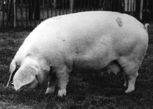 Nashes Josephine 81 Breed Champion RASE Bristol 1958.jpg © Copyright, please contact us if you wish to use this photo.