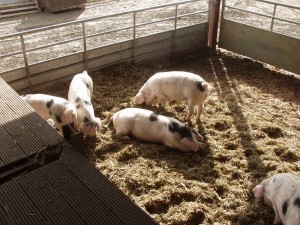 Under TSG standards, finishing pigs can be kept indoors but under strict standards that ensure low stocking densities and high welfare facilities such as these at Judy Hancox's The Butts Farm in Gloucestershire.