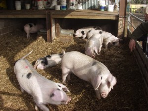 Pigs finished indoors must have plenty of space and light and freedom to express natural behaviour traits such as these at The Butts Farm, Gloucestershire.