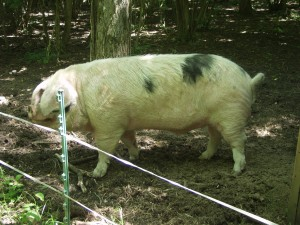 For a small herd, keeping your own boar can be expensive and involve a lot of extra work. AI can be a useful alternative.