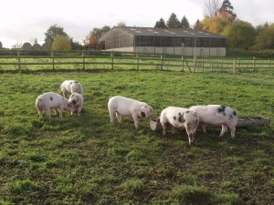 Finishing pigs outside at a TSG-approved farm in Wiltshire
