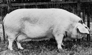 Poundbury Muriel 8 (A2909) bred by FS Tuck, Hawkesbury, Badminton Br Ch RASE Cambridge 1961; Res Br Ch RASE 1960; Br CH Bath & West 1959; 1st RASE 1958.jpg © Copyright, please contact us if you wish to use this photo.