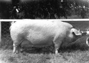 Poundbury Muriel 8 - one of the major show pigs in the breed