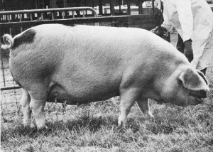 Ribbesford Muriel 162 (A4360) bred & exhib by GH Styles Ltd, Bewdley Br Ch RASE 1969.jpg © Copyright, please contact us if you wish to use this photo.