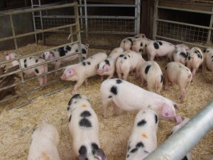 Some of the 100+ finishing pigs on view at The Butts Farm.
