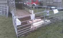 Showing the Peacehaven herd way. A great way to show the public our pigs.